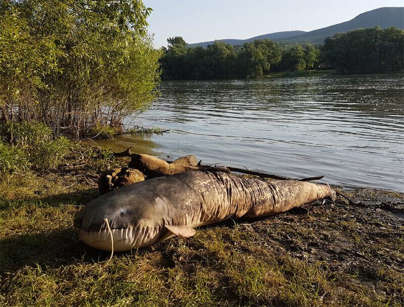 Szörny harcsa párna a Duna partján napozik